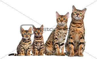 Group of Bengal sitting in front of a white background