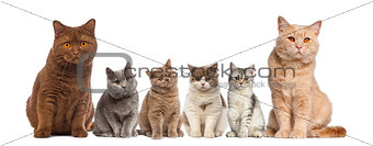 Group of British Shorthairs sitting in front of a white backgrou