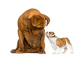 Dogue de bordeaux looking at a French Bulldog puppy in front of