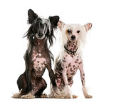Two Chinese Crested dogs sitting in front of a white background