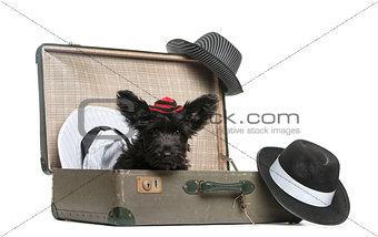 Skye Terrier puppy sitting in a suitcase  in front of a white ba