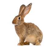 Rabbit sitting in front of a white background