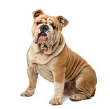 English Bulldog sitting in front of a white background