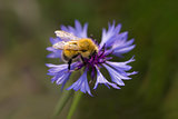 Bumblebee on cornflowers