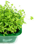 Growing Fresh Parsley