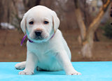 labrador puppy on blue background