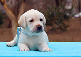 a labrador puppy on blue background