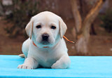 the labrador puppy on blue background