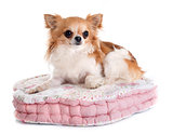 chihuahua on cushion