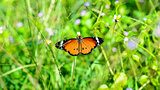 Plain Tiger butterfly ( Danaus chrysippus )
