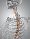 3D render of a spine highlighted in skeleton