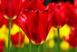 Beautiful red terry tulips