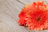 Orange gerbera flowers on wooden background