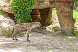 Hyena wandering in zoo