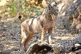 Iberian lynx on alert position