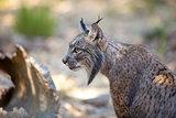 Iberian lynx sitting profile