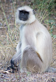 Southern Plains Grey Langur