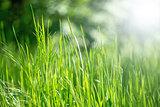spring grass in sun light