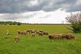 Cattle graze on meadow