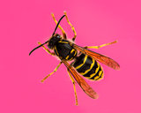 High view of a Wasp in front of a pink background