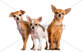 Three Chihuahuas in front of a white background