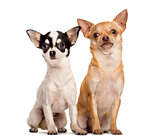 Two Chihuahuas sitting in front of a white background