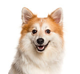 Close-up of a Spitz in front of a white background