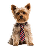 Yorkshire wearing a tie in front of a white background