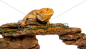 Bearded Dragon lying on a rock in front of a white background