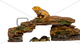 Bearded Dragon lying on a rock with two turtles underneath in fr