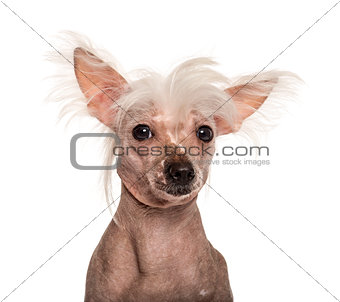 Close-uo of a Chinese crested dog in front of a white background