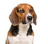 Close-up of a Beagle in front of a white background