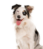 Close-up of a Border Collie with heterochromia in front of a whi