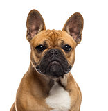 Close-up of an English Bulldog in front of a white background