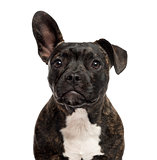 Close-up of a Staffordshire Bull Terrier in front of a white bac