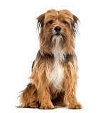 Crossbreed sitting in front of a white background