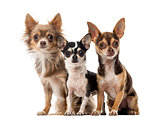 Chihuahuas sitting in front of a white background