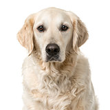 Golden Retriever sitting in front of a white background