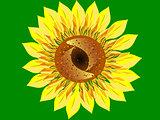 Bright Sunflower flower green background closeup