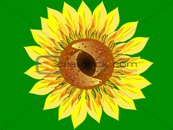 Bright Sunflower flower green background closeup