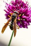 Drumstick Allium Flower Bloom and Wasp