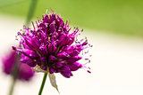 Drumstick Allium Flower Bloom