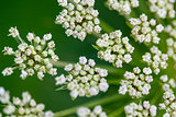 Daucus carrota Queen Anne's Lace