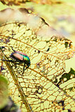 Japanese Beetle Popillia japonica on Leaf