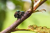 Japanese Beetles Popillia japonica Mating