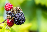 Closeup of Black Raspberries
