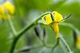 Tomato Pant Flowers