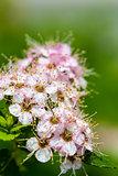 Ornamental Flowering Bush
