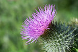 Thistle in bloom.