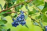 blueberry bunch on bush